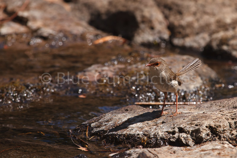 Female Superb Fairy-wren (Malurus cyaneus)