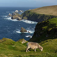 Sheep grazing on the cliffs