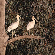 Two Yellow-billed Spoonbills (Platalea Flavipes)