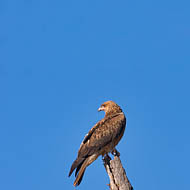 Whistling Kite (Milvus sphenurus)